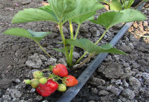 drip irrigation solutions in open field strawberries project