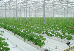 irrigation solutions in cucumbers greenhouse