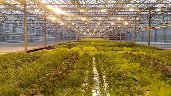 Hydroponic systems in greenhouse
